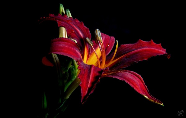 Red Daylily by tomriley