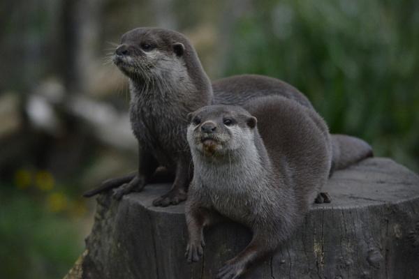Chillian otters by jimbob133