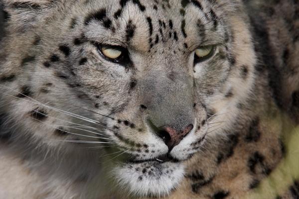 Snowleopard by rickie