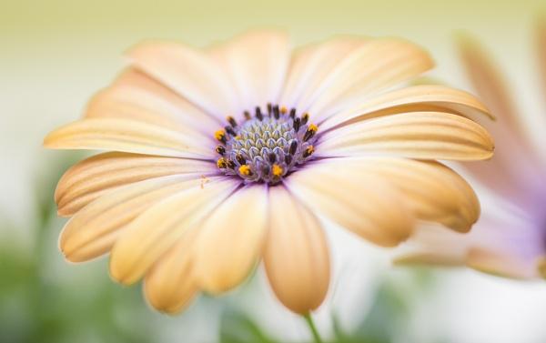 Cape Daisy by janedibnah