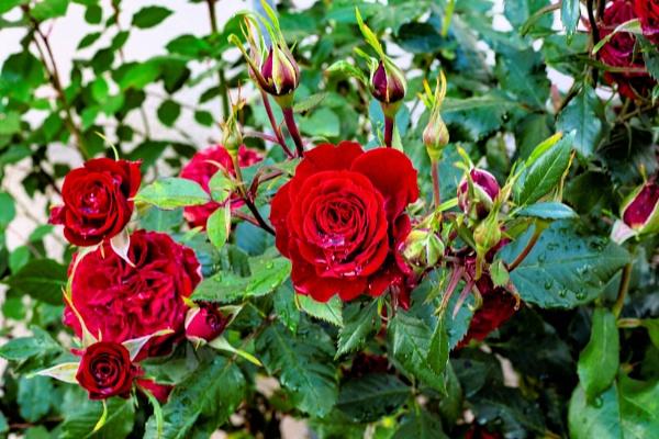 Roses after the rain by cegidfa