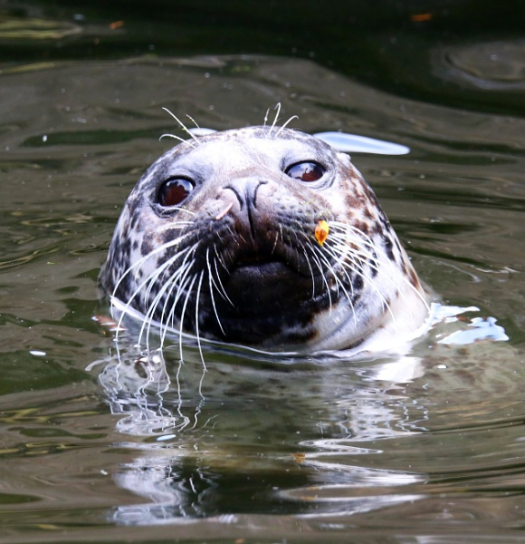 Grey Seal by mikekay