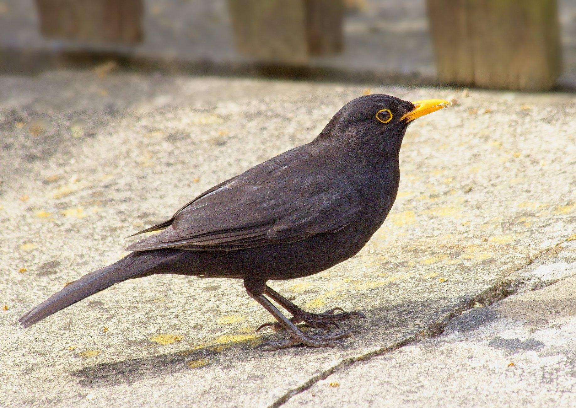 """Wednesday""s Blackbird""."