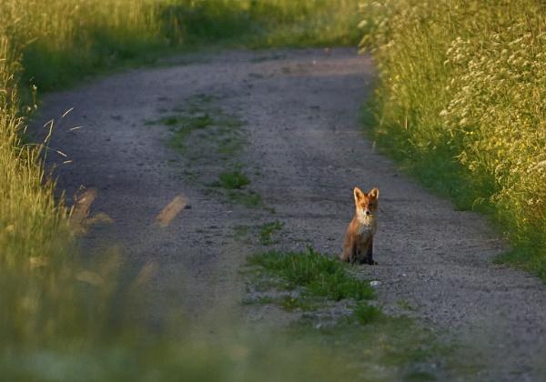 Fox In Röylä by hannukon