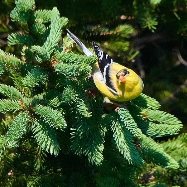 Goldfinch by Aeros