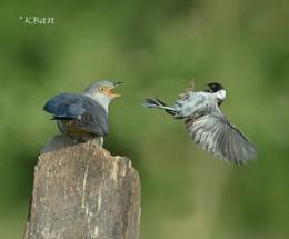 Cuckoo and Reed Bunting