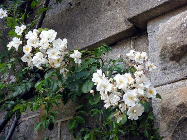Climbing rose by Alan26
