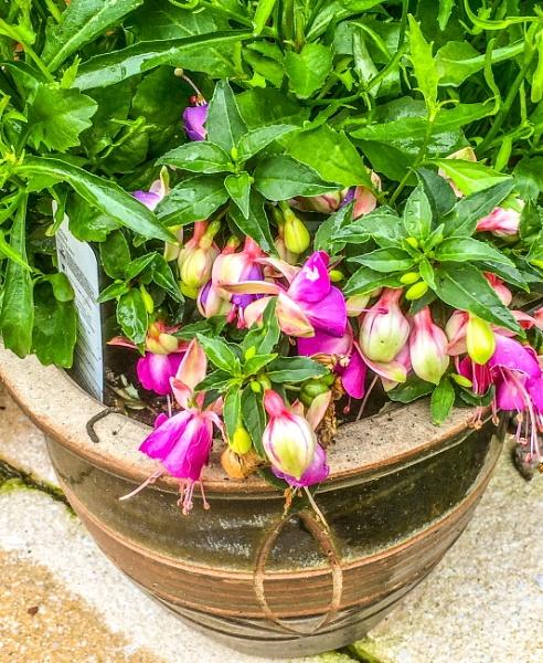 Fuchsia in pot. by Pinarellopete