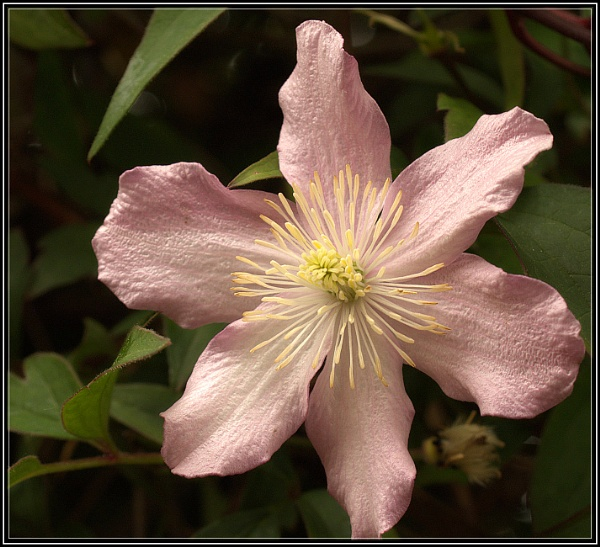 Clematis 1 by Imageryonly