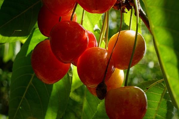 cherries by elousteve