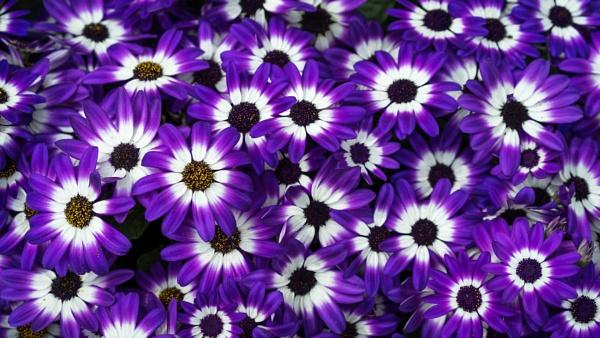 Purple by Silverlake