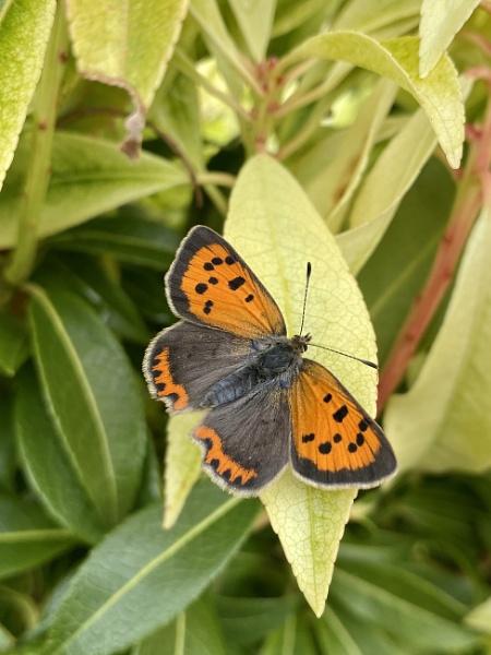 Small copper butterfly by Bkane26