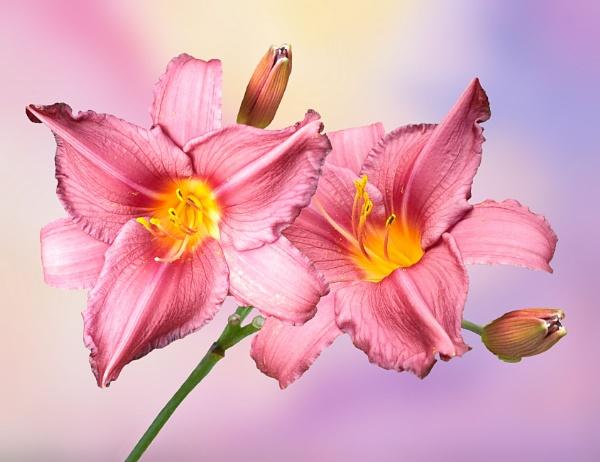 Pink Daylilies by pamelajean