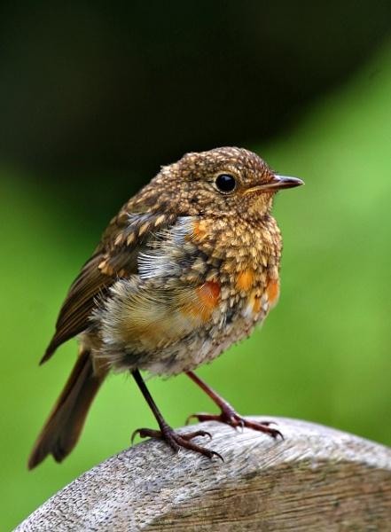 Baby Robin by natureslight