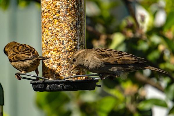 Sparrows by terra