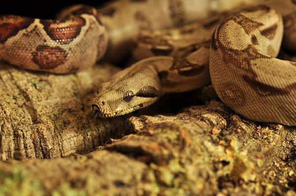 Royal Python Camouflaged. by Buffalo_Tom