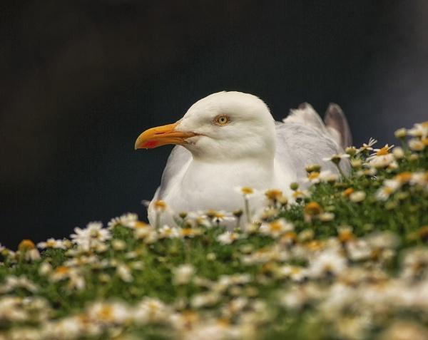 Herring Gull by Buffalo_Tom