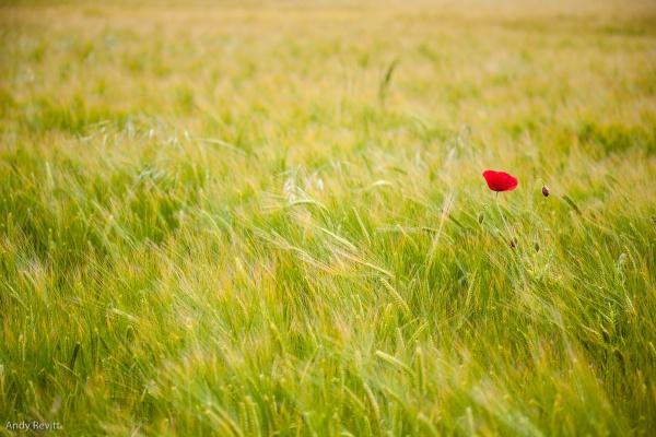 Lone Poppy by AndyCRevitt