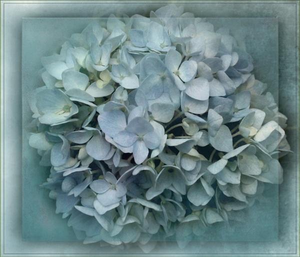Blue Hydrangea by helenlinda