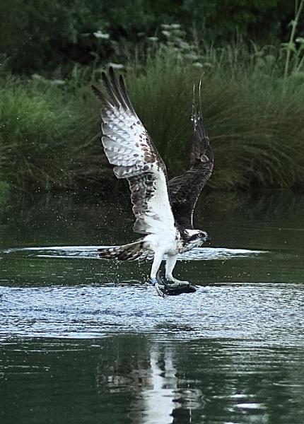 Osprey by ukdrifter