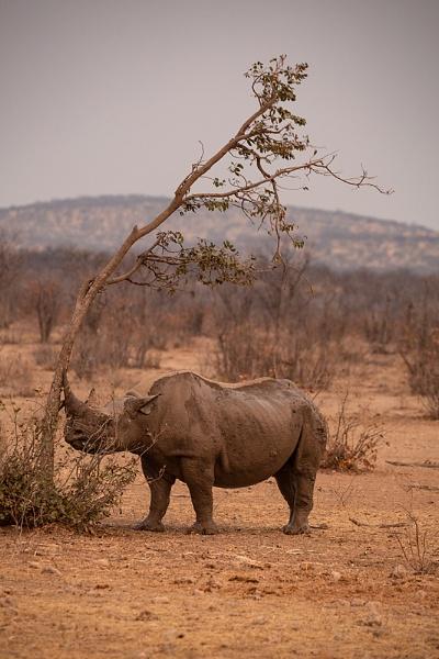 Black Rhino after mudbath by rontear