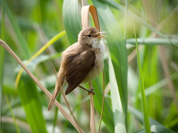 Reed Warbler by altosaxman
