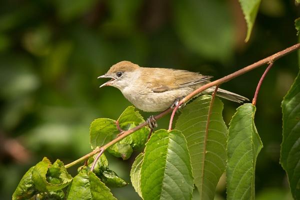 Bird on a stick - Female House Sparrow? by JackAllTog
