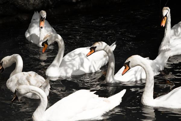 Swans by JackAllTog