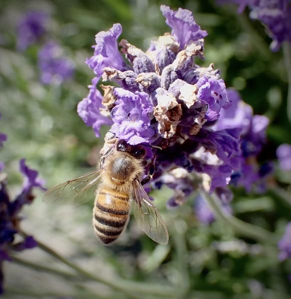 Lavender Bee by nclark