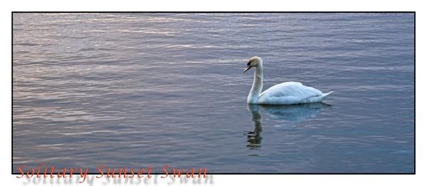 Solitary Sunset Swan by EG