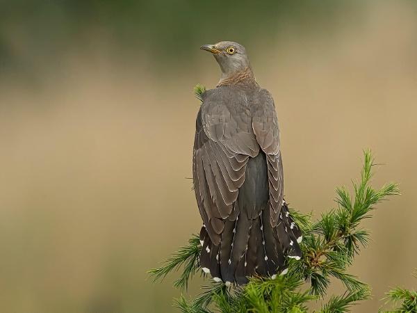 Female Cuckoo by Jamie_MacArthur
