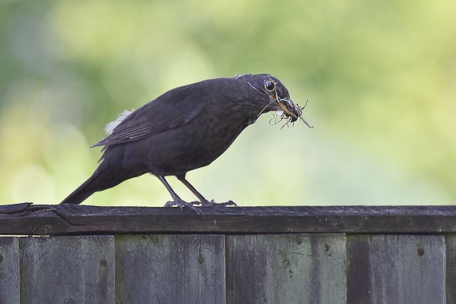 Blackbird been rooting around..