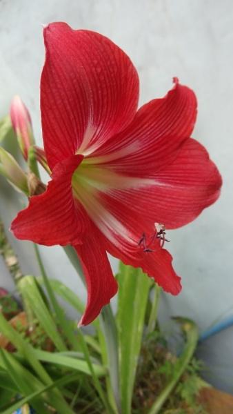 "\"" GLADIOLUS FLOWER \"" by abssastry"