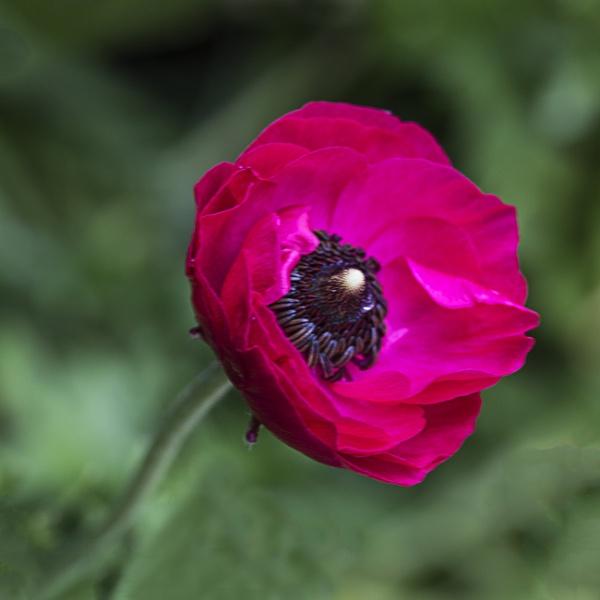 Ranunculus by Irishkate