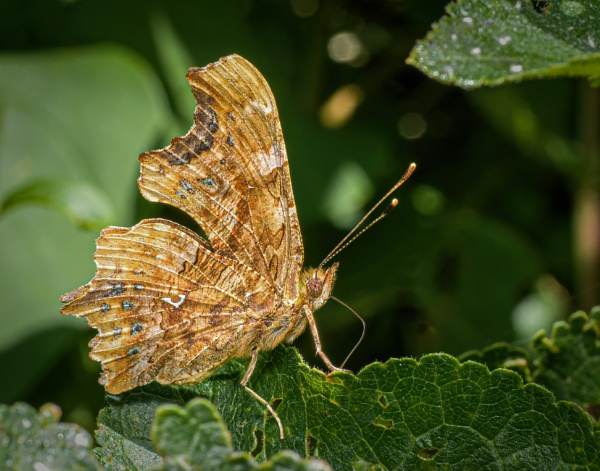 Comma by chavender