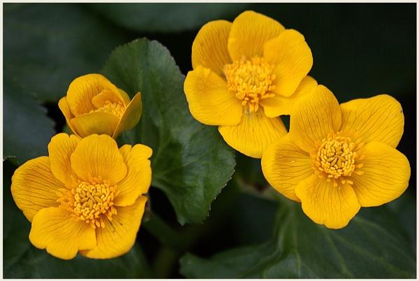 Marsh Marigolds  (best viewed large) by gconant