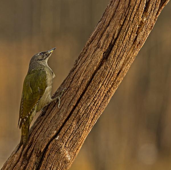 Grey Headed Woodpecker by hibbz