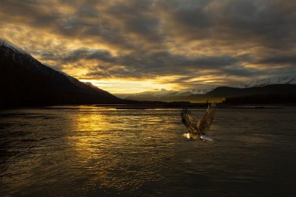 Bald Eagle flying across Chilkat river by hibbz