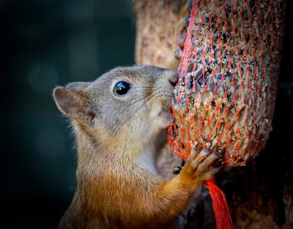 Hungry squirrel. by Jukka