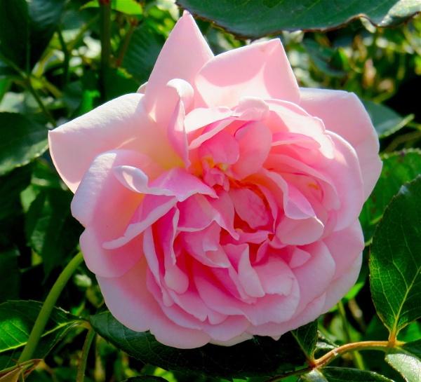 Pink Bloomer by ddolfelin