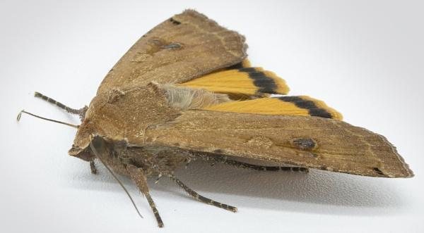 Light Orange Underwing - Archiearis notha by tralfamadorean