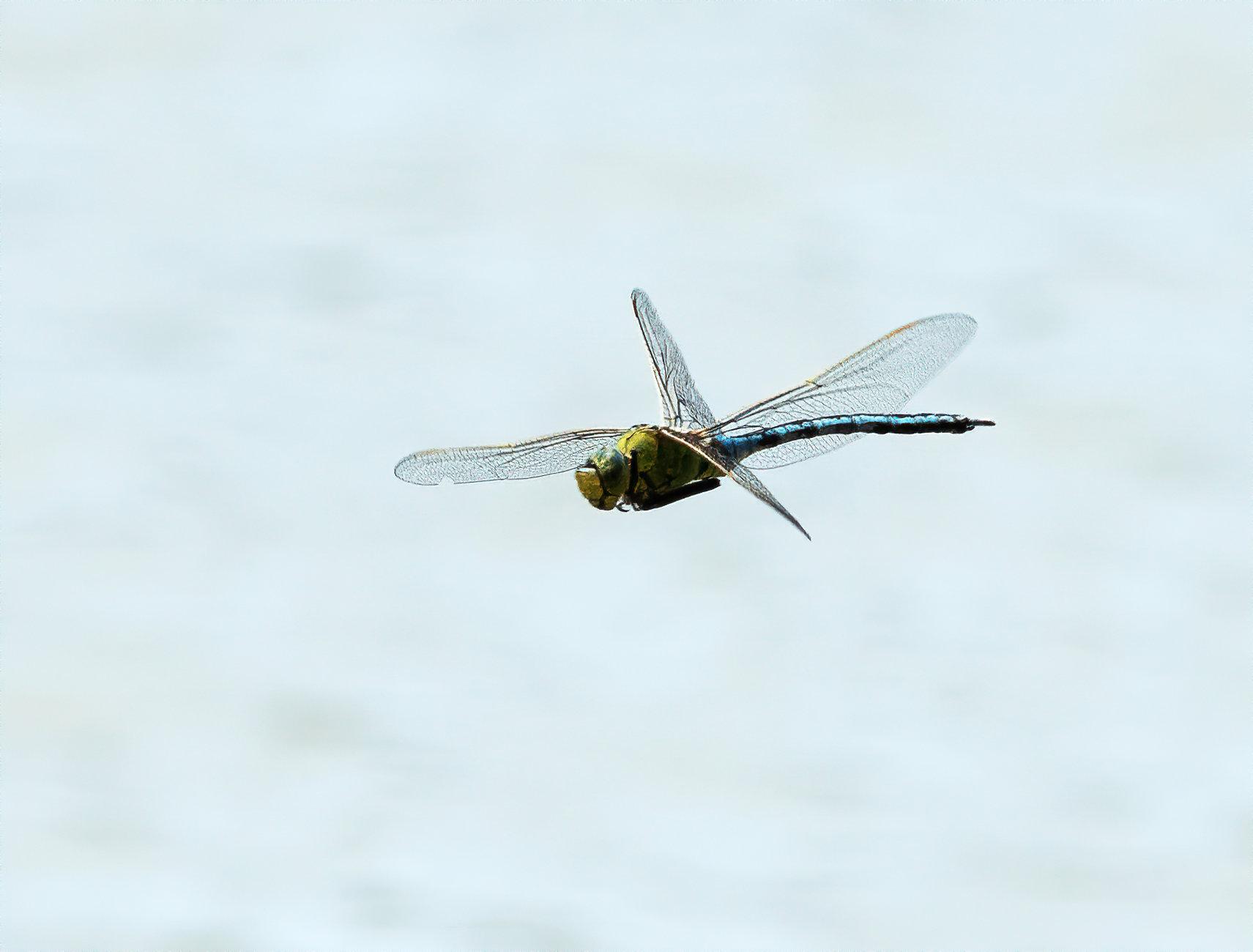 Dragon Fly in Flight