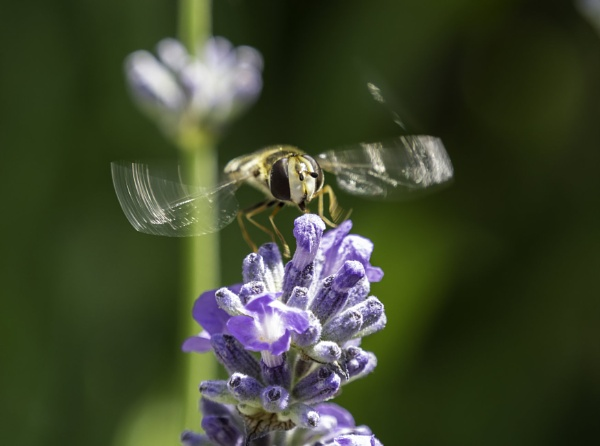 Hover Fly in Action by doverpic