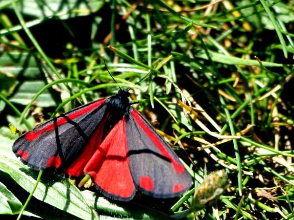 Cinnabar Moth by DerekHollis