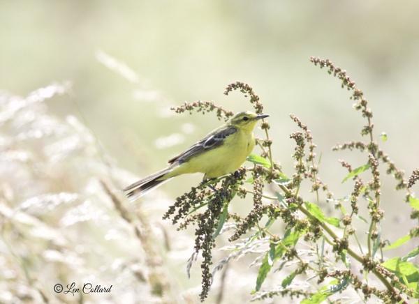 Yellow Wagtail by Lencollard