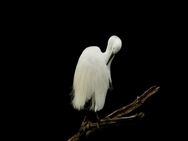 Little Egret--Egretta garzetta. by bobpaige1