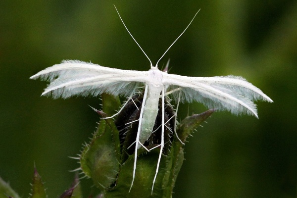 Plume Moth by bobpaige1