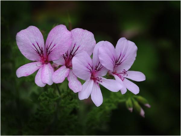 Rose Scented Geranium by sueriley