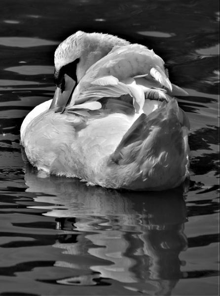 Swan B/W by Madoldie