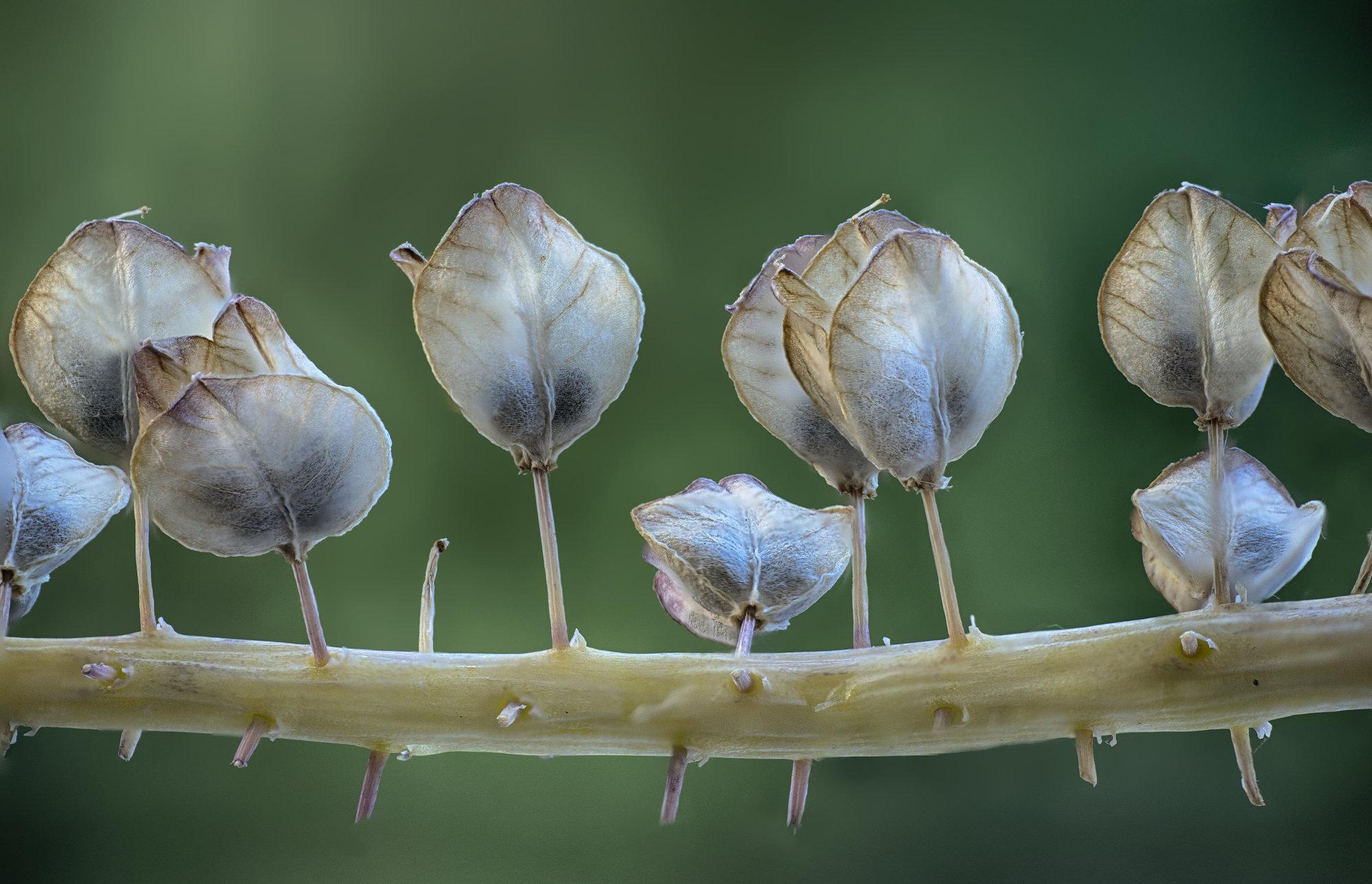 Muscari Seeds